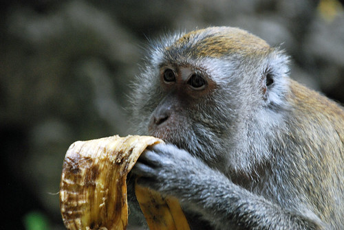Macaque eating banana