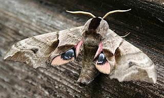 1980-eyed-hawk-moth-smerinthus-ocellata