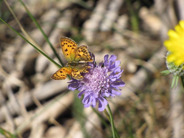 Papillon âgé