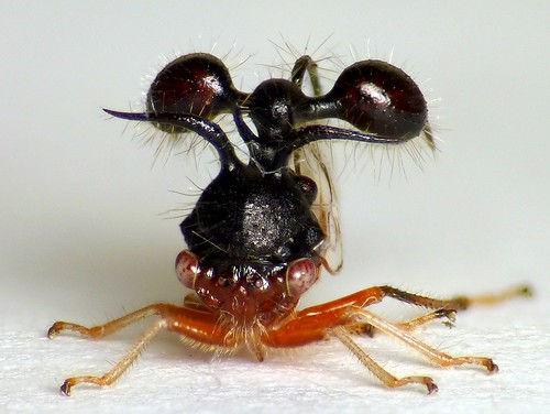 Ant-mimicking Treehopper, Cyphonia clavata? Membracidae