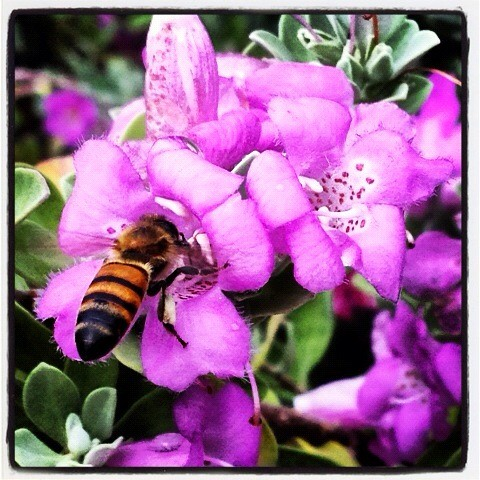 Honeybee on Purple Sage
