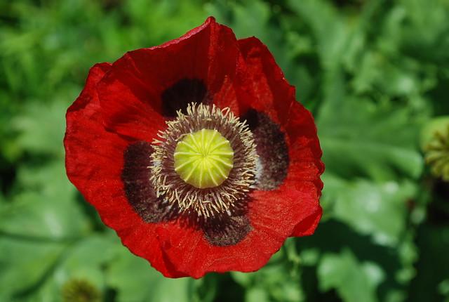 DSC_1351-poppy