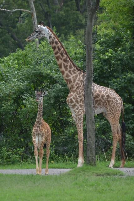 Baby & Big Giraffe