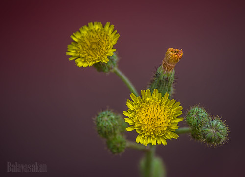 Yellowish beauty by Balavasakan