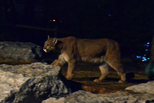 Cougar Among the Rocks