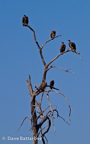 Whitebacked Vultures