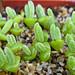 Monilaria pisiformis