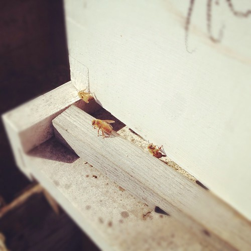Sweet golden bees at Pizza Yard