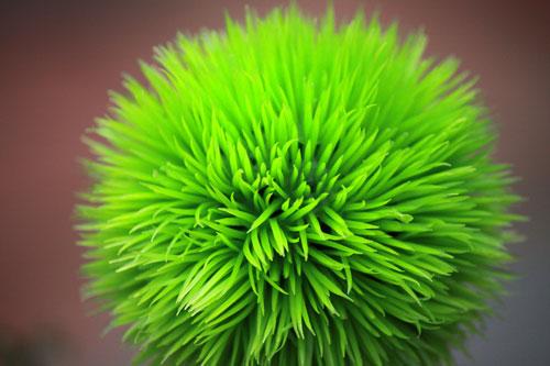 crazy-fuzzy green plant: meadowlark botanical gardens, va