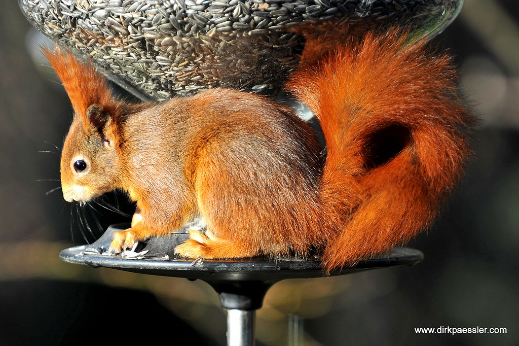 Red Squirrel by Dirk Paessler