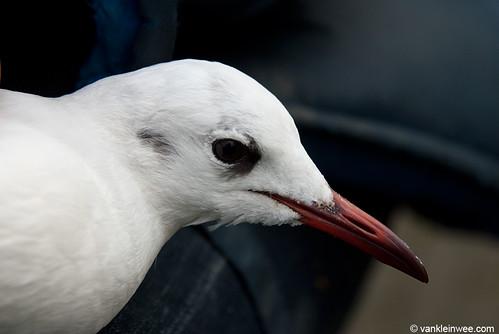 Black-headed Gull, 24cy, W[E0TU]