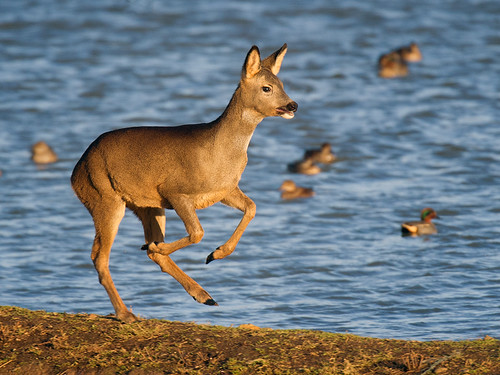 Roe Deer-Boxing Day