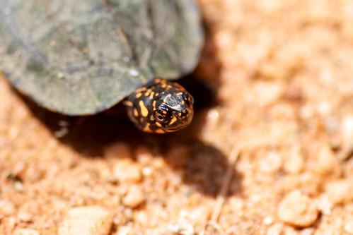 Turtle (… or tortois?)