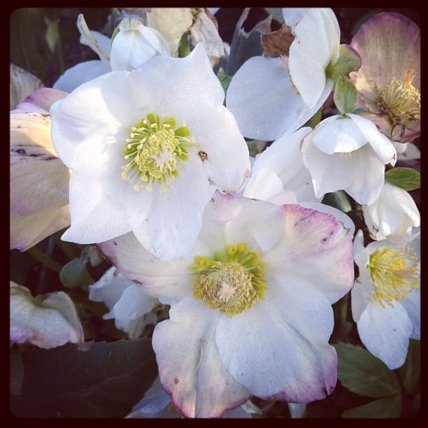 Lenten roses in bloom