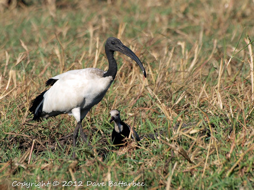 Sacred Ibis and friend