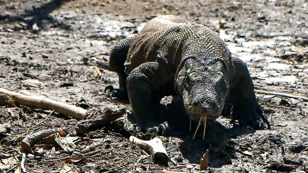 Komodo dragon drooling.