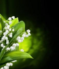 muguet hoa chuong