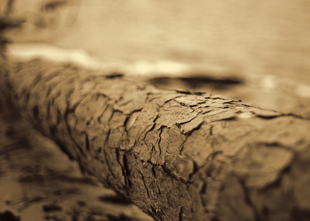 Pine Log in Sepia