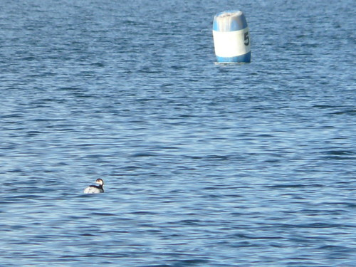 Black-necked Grebe (record shot)