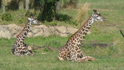 Girafuudas >.< - Animal Kingdom (Orlando)
