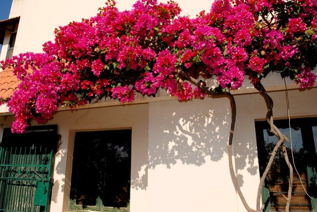Ramas Garden Retreat   A Bougainvillea Heaven