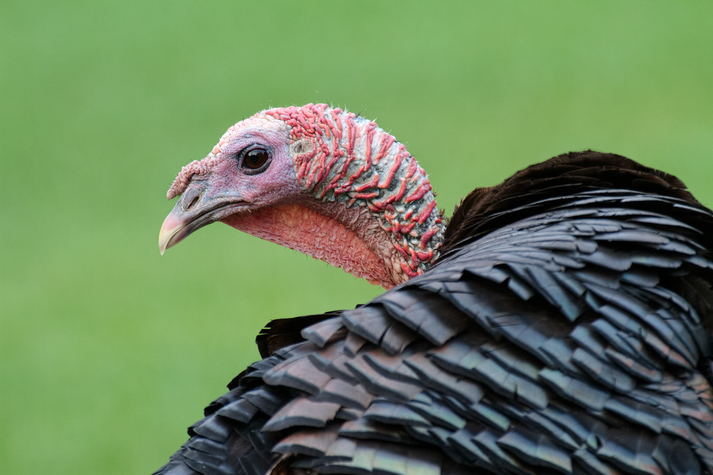 A close-up view of a wild turkey at Gilsland Farm Audubon Center in Falmouth, Maine