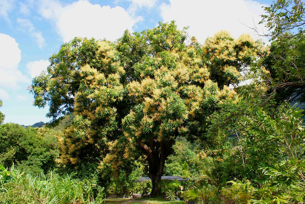 Flowering Mango Tree