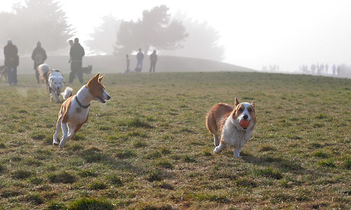 Everybody chase the corgi!