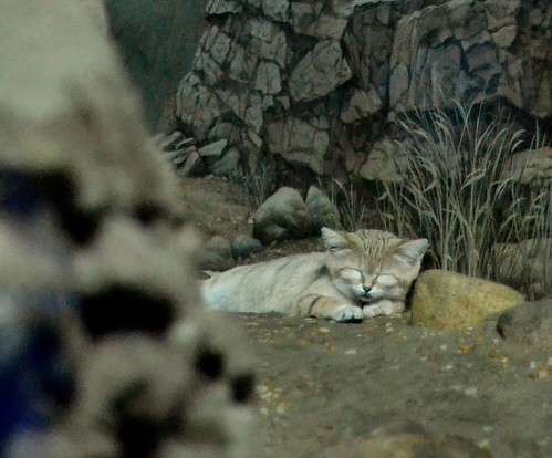 Dozing Sand Cat