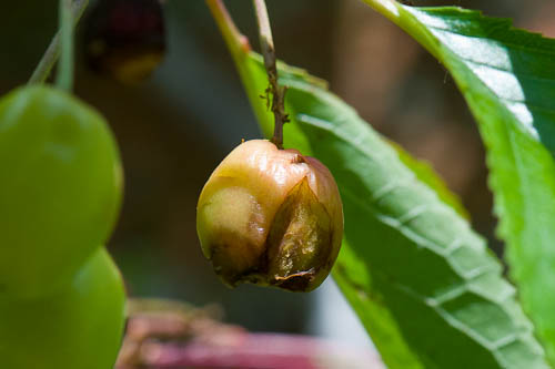 090616_020_Cherry rot.jpg por Alan Buckingham