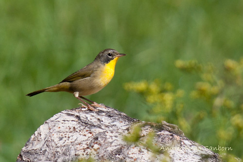 Immature Common Yellowthroat Warbler (Geothlypis trichas)-8.jpg