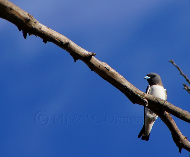 white breasted wood swallow