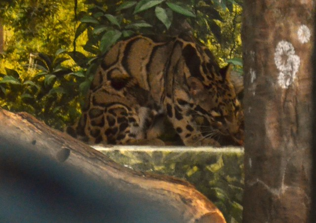 Clouded Leopard Brunch