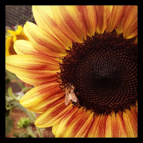 Bumblebee meet sunflower.