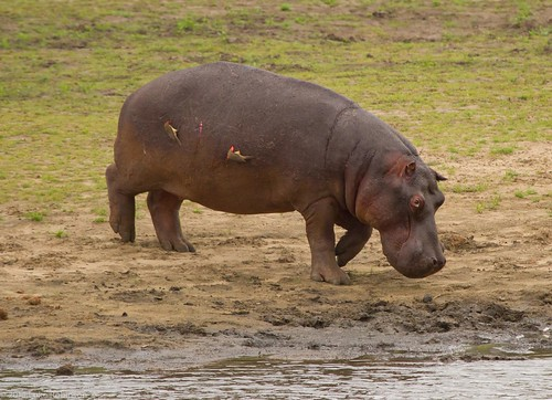 Bloodied Hippo with Tick Birds