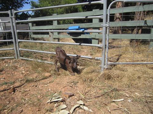 Midget calf