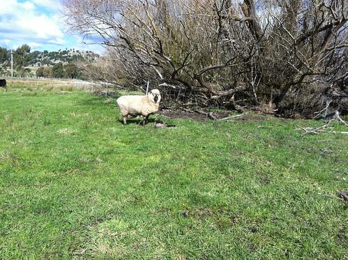 possum & her lamby