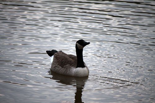 Meadowlark Botanical Gardens Goose