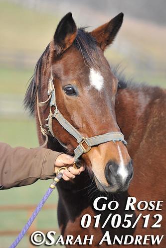 Go Rose