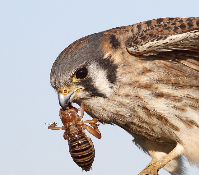 American Kestrel with Jerusalem Cricket