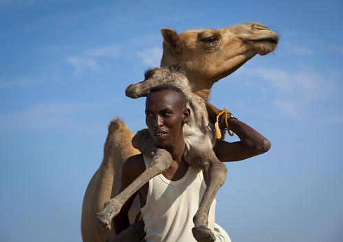 Somali nomad carrying camel new born  - Somaliland