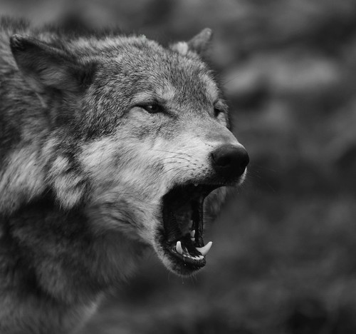 Wolf - the range of black and white tones can really add to the dramatic impact