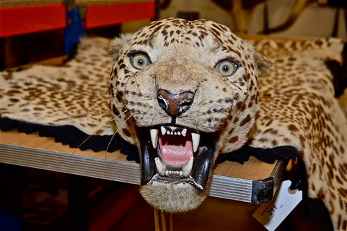A leopard head and skin by the renowned taxidermists Van Ingen of Mysore