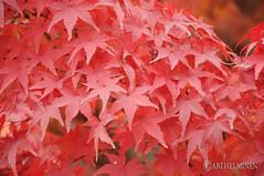 Autumn leaf colors in Japan 紅葉