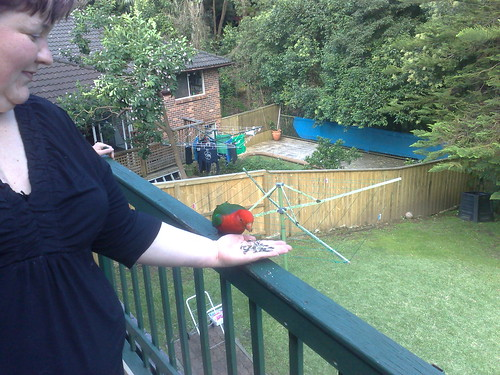 Hand feeding a King Parrot