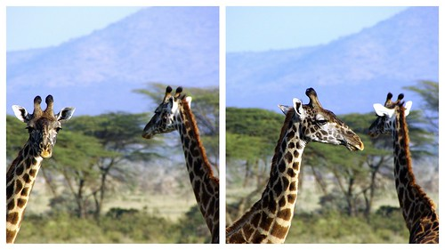 giraffe diptych