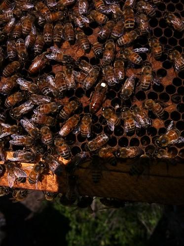 1 hive, 2 queens
