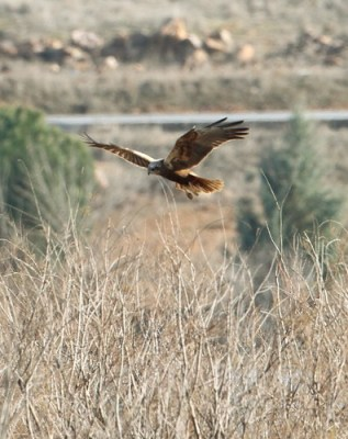 2012_02_02 PO - Western Marsh Harrier (Circus aeruginosus)