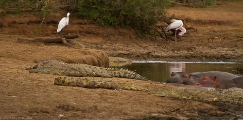 Crocs and Hippos