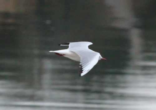 Gull over water